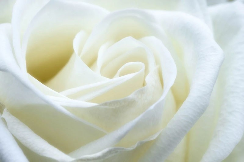 нежный белый цветок